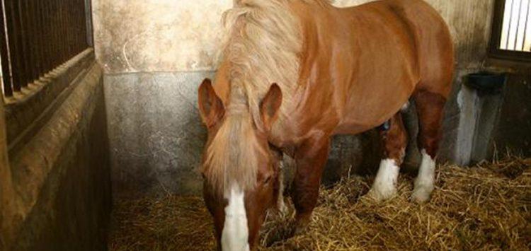 cheval hannebont