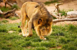 lion zoo pont-scorff